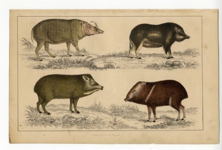 1858 Antique Print HOG PIGS Babirusa CHINESE White Lipped Peccary COLLARED